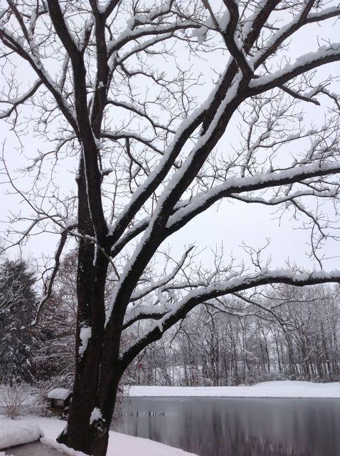 snow on black walnut tree