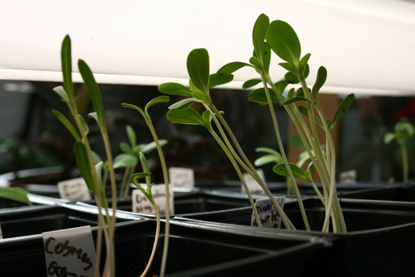flower seedlings