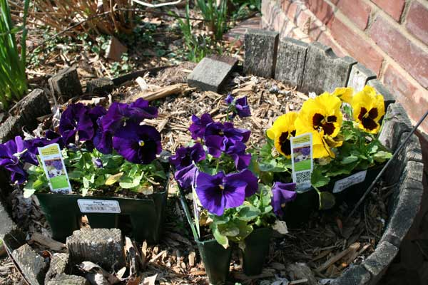 pansies waiting to be planted