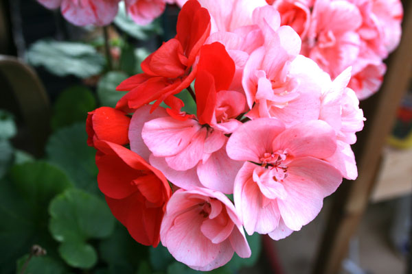 red and pink bi-color geranium