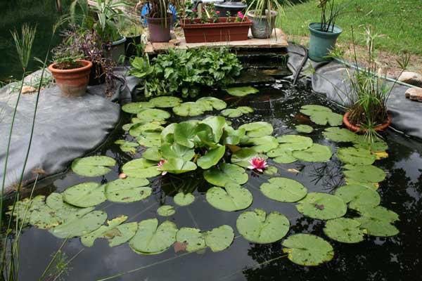 waterlily-on-koi-pond