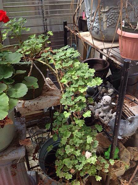 cascading geraniums