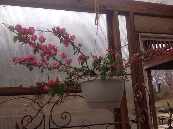Bougainvillea hanging in pot