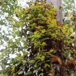clematis vine growing up utility pole