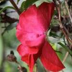 velvety red rose blooms
