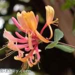 Pink and yellow honeysuckle