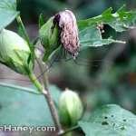 spider hiding under dead hibiscus flower