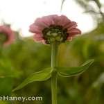 looking up at pink zinnia