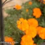 spider web & marigolds