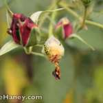 green bugs with black polka dots on red rose bud