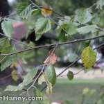 river birch branch