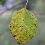 lonely leaf of river birch