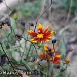 yellow and orange Coreopsis