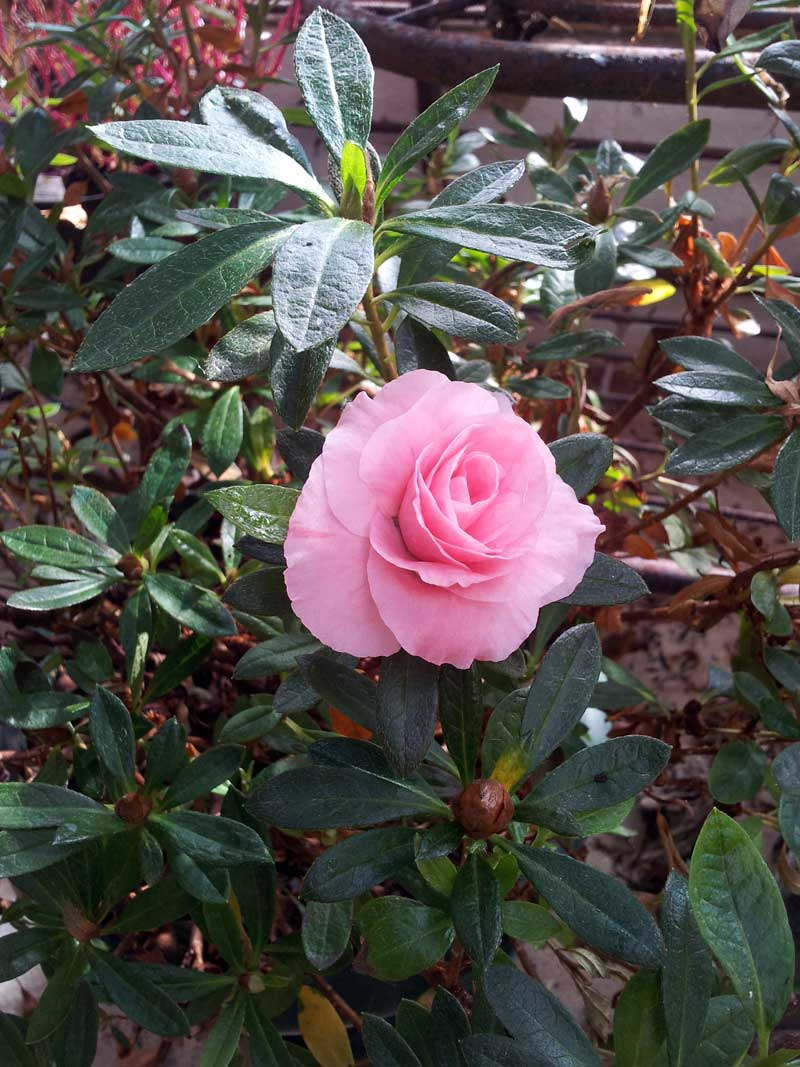 pink rose like bloom of the Rozalea