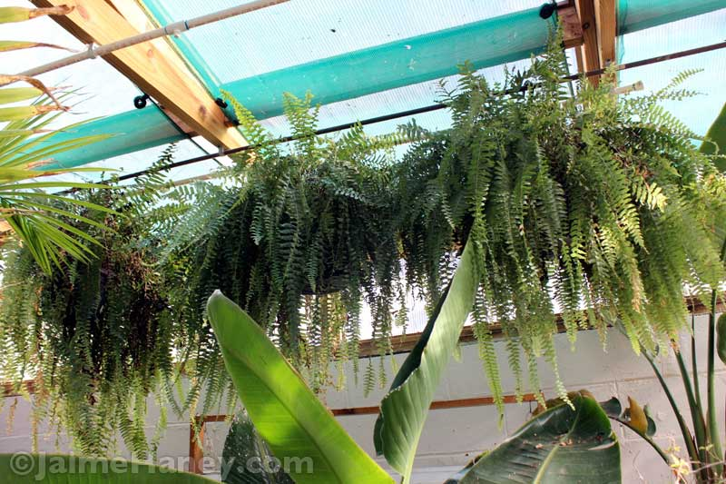 ferns-hanging-in-winter-greenhouse.JPG
