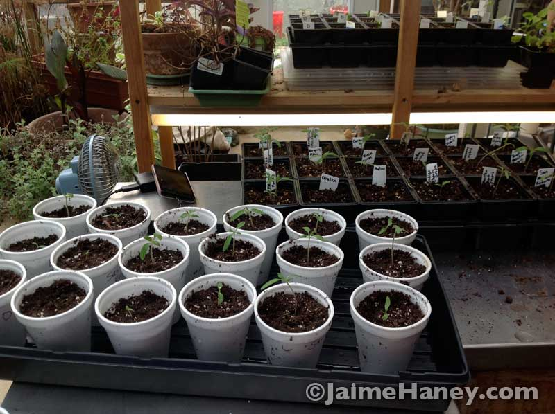 heirloom tomato plant seedling transplants