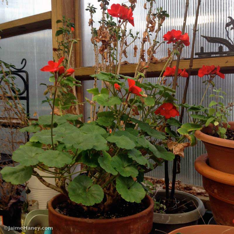 Red geranium growing in the April greenhouse
