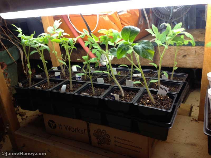 Tomato seedlings growing big 2