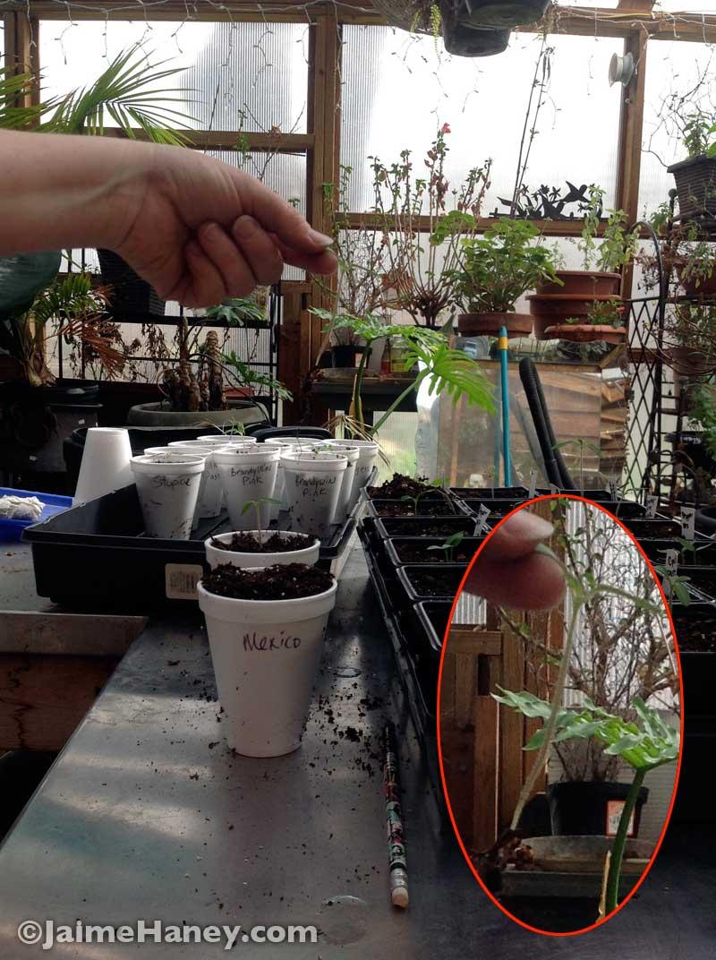 transplanting tomato plant seedlings