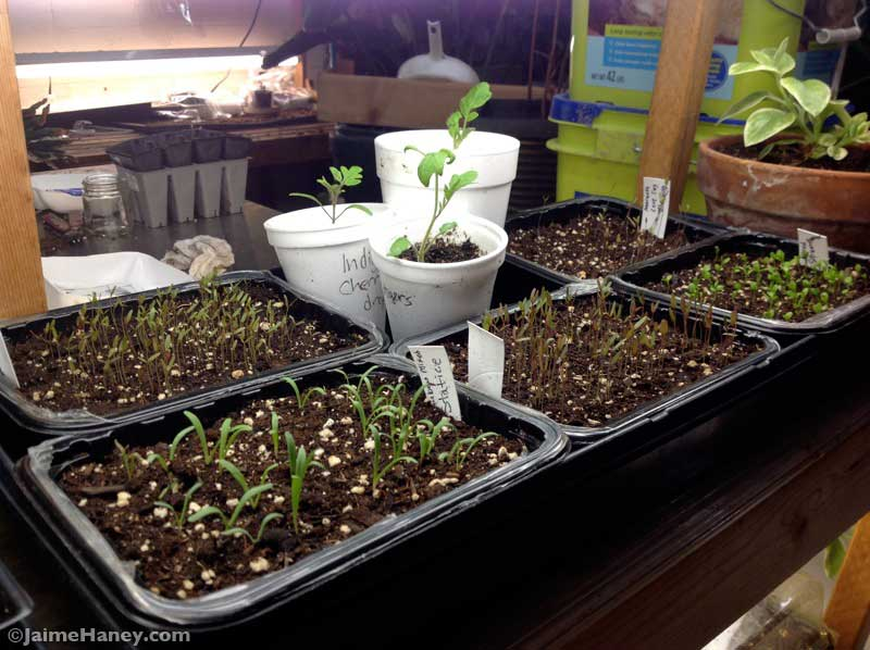 flower and tomato seedlings looking good