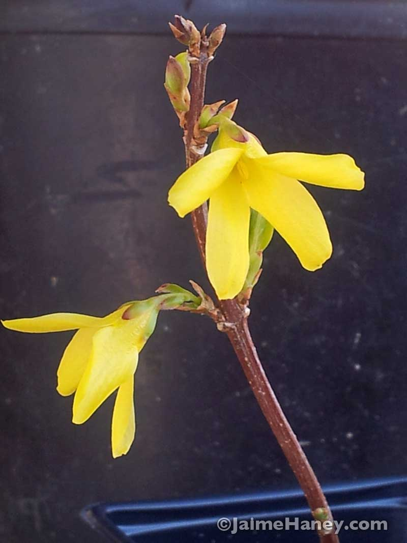 yellow flowers of forsythia