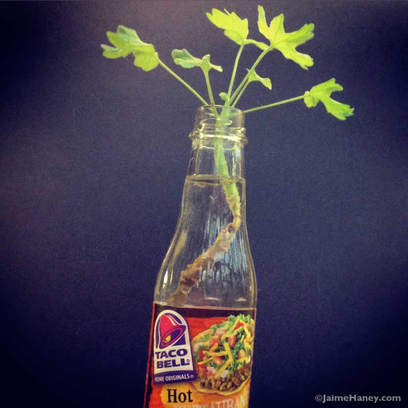 Geranium rooting in a Taco Bell hot sauce bottle