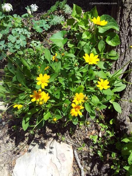 yellow coreopsis tickseed