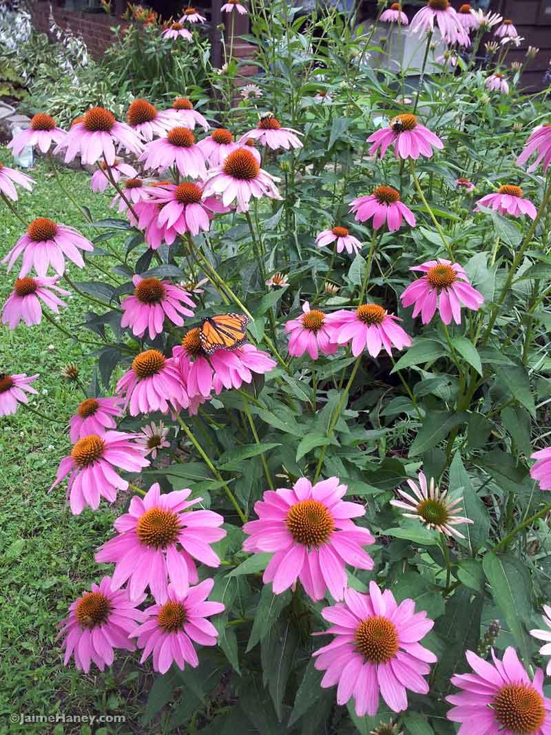 coneflowers in full bloom