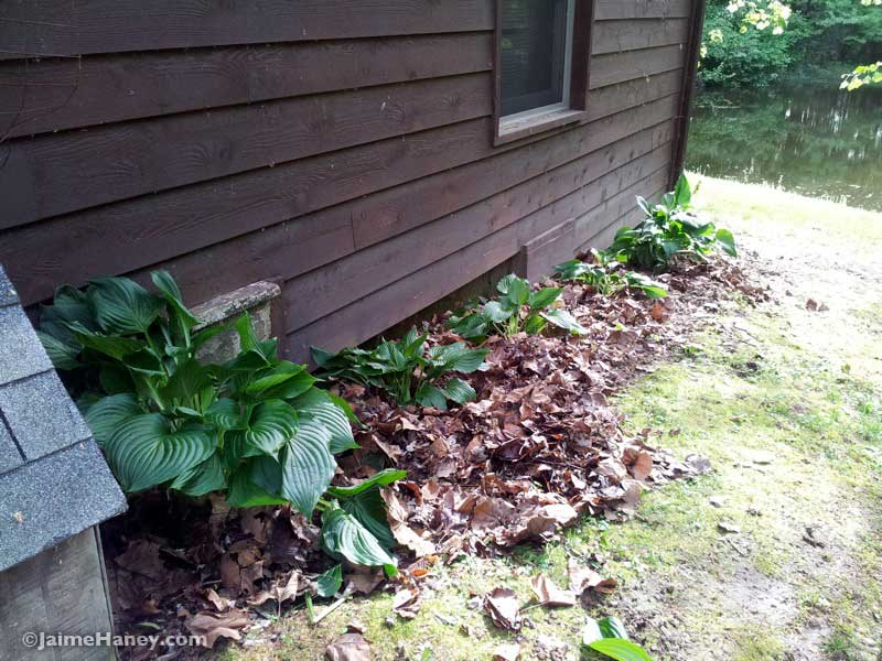 north side of house with newly planted hostas