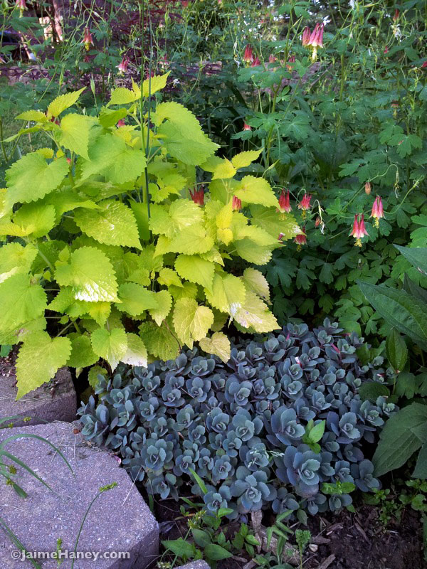 giant hyssop, columbine and sedum