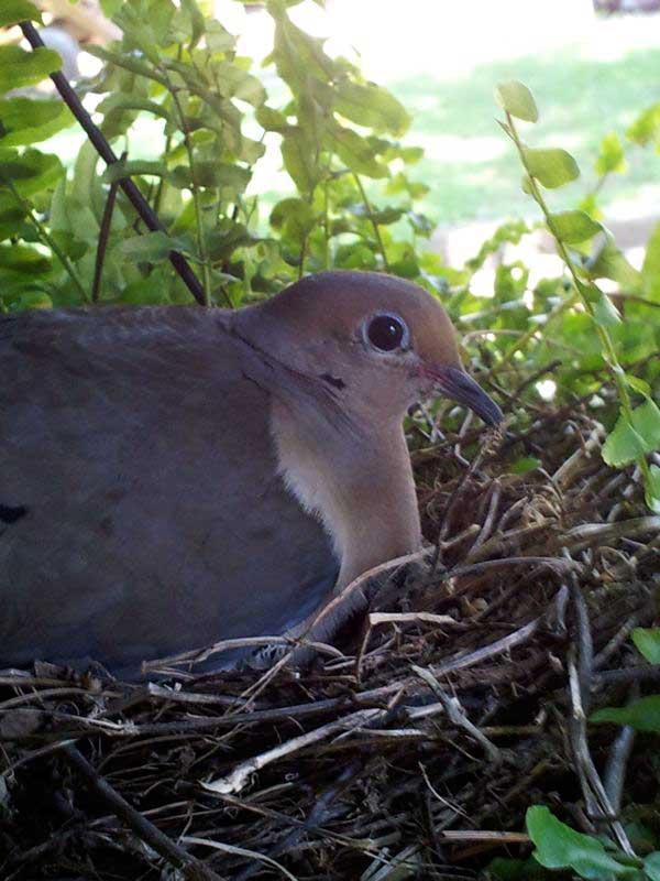 mama dove on her nest