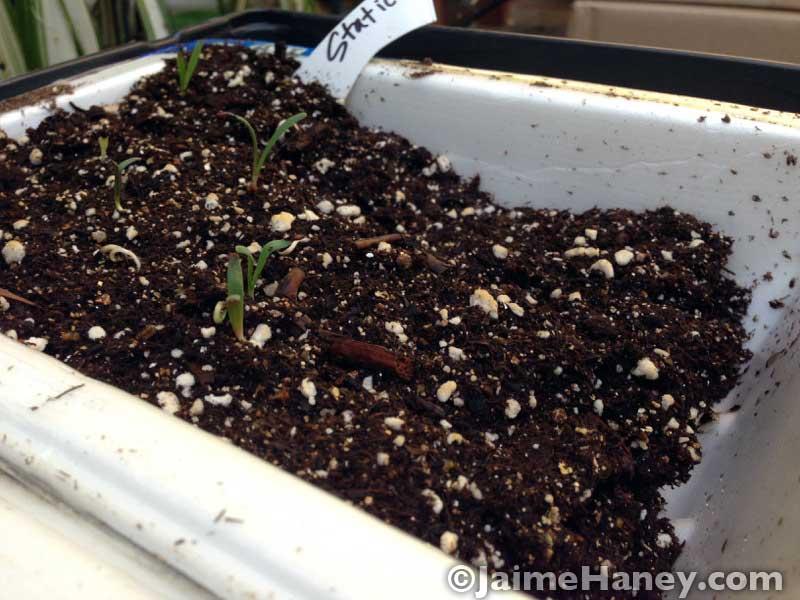 Statice flower seedlings coming up