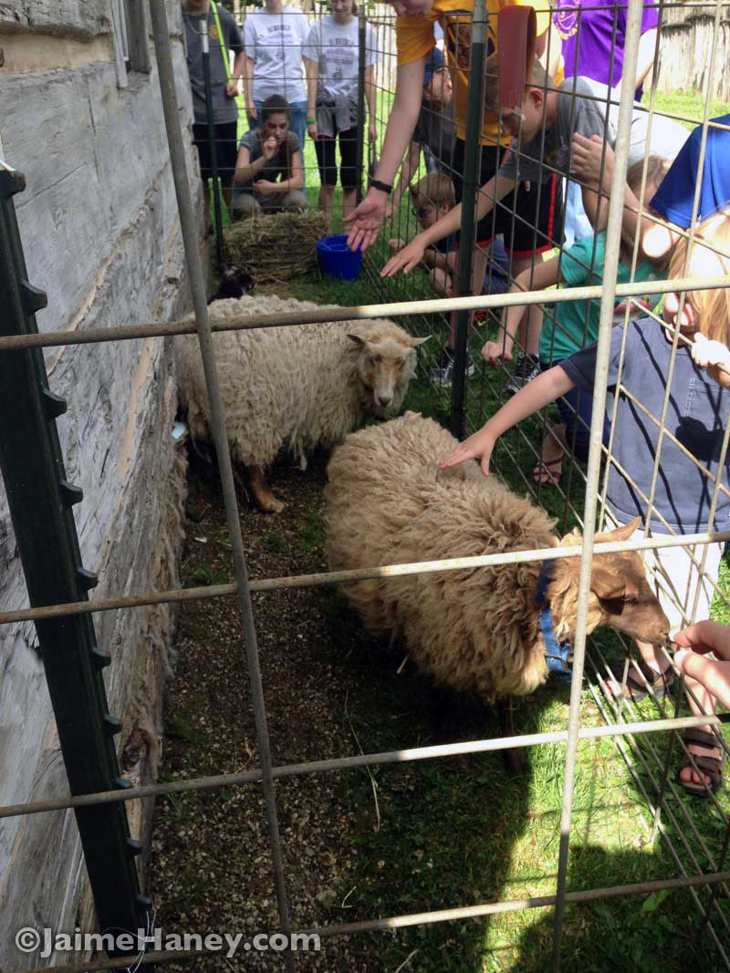 Sheep for shearing