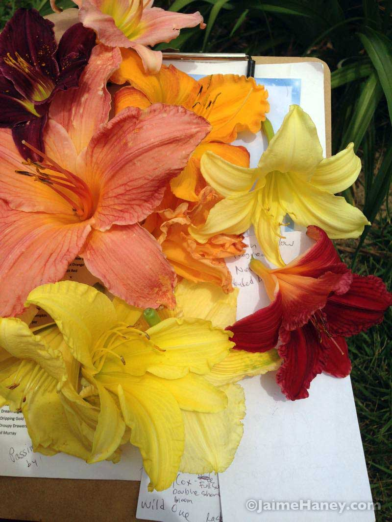 daylily blooms and order form