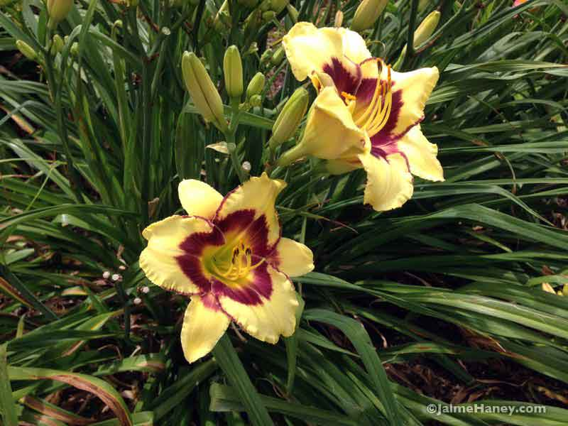 yellow with burgundy ring daylily blooms