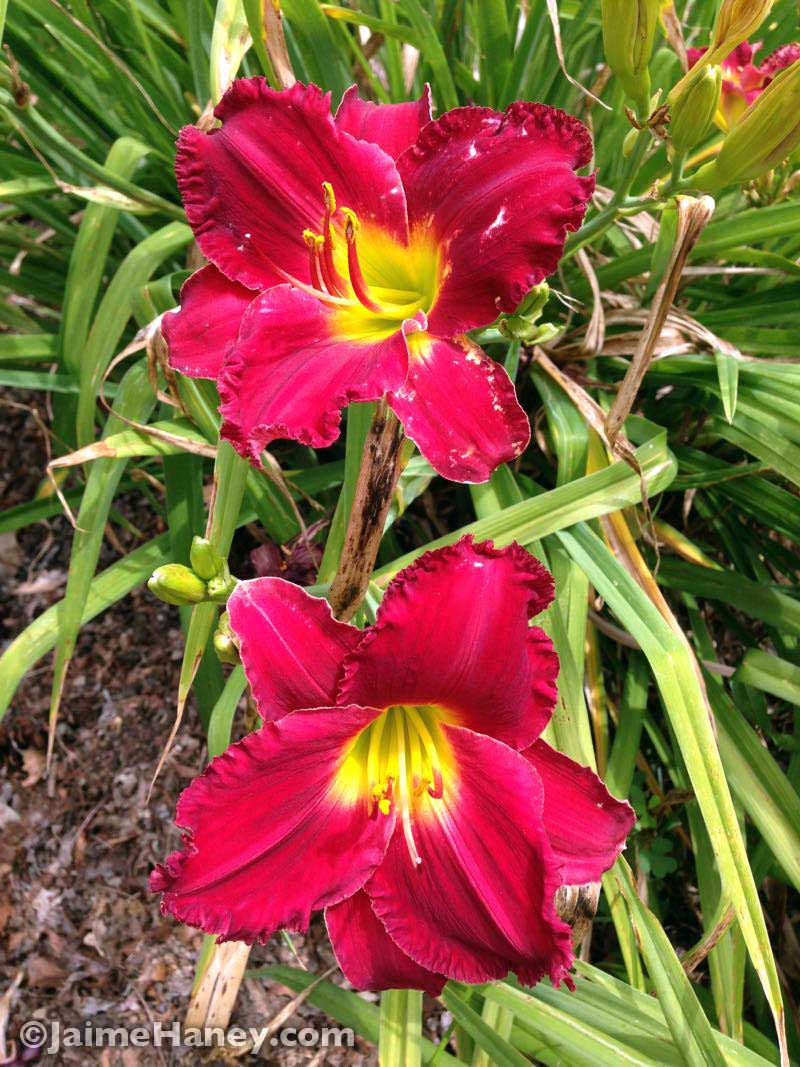 Ruffled red daylily blooms