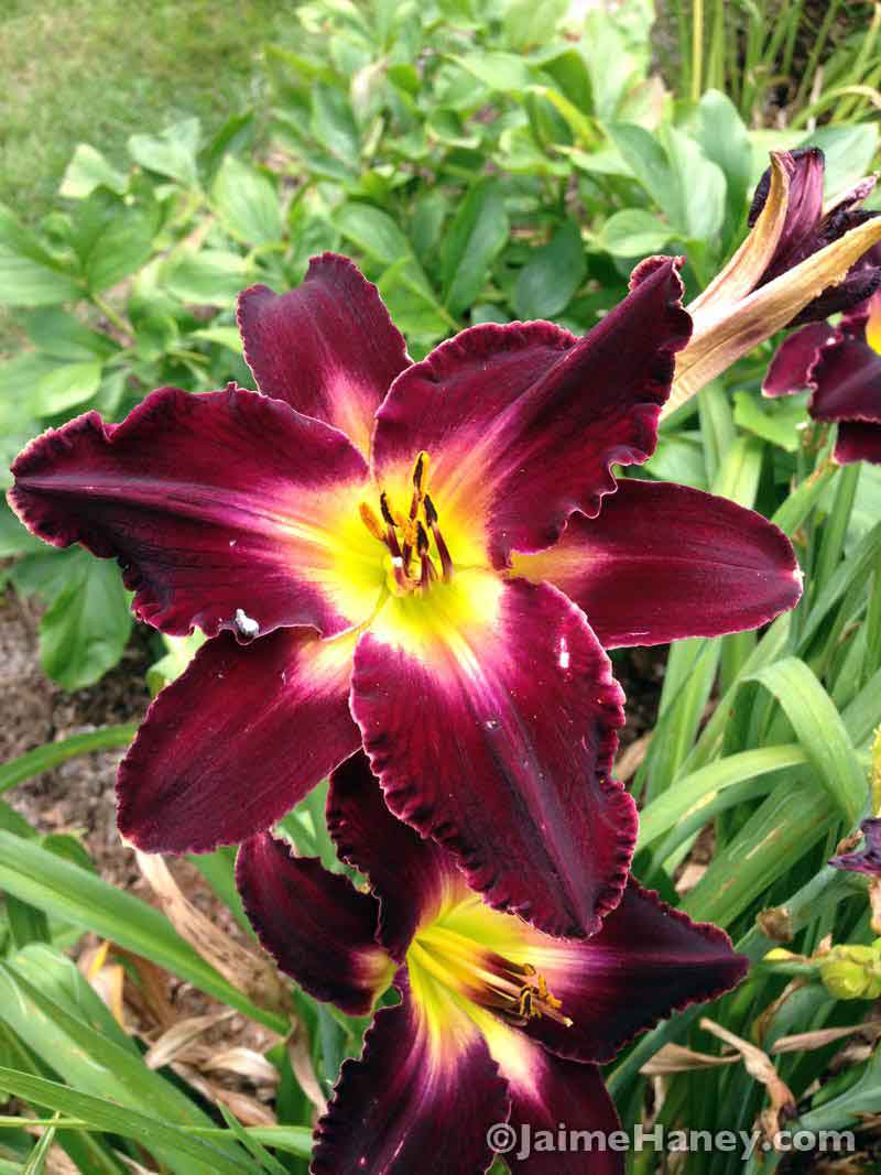 burgundy daylily bloom