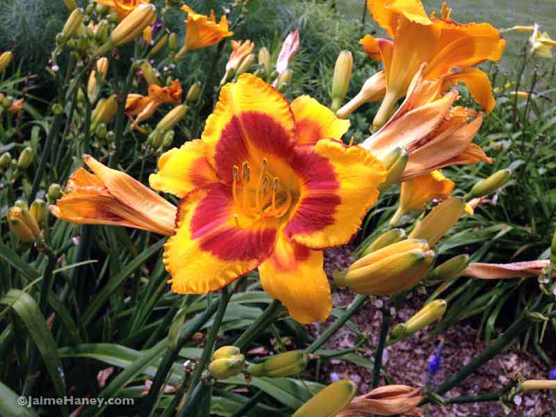 dark golden yellow with burgundy ring ruffled daylily blooms