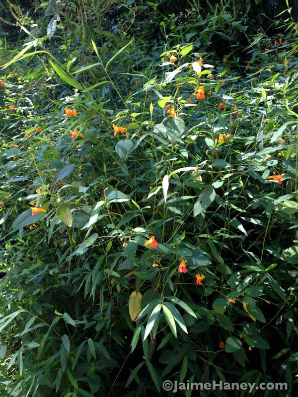 jewelweed patch