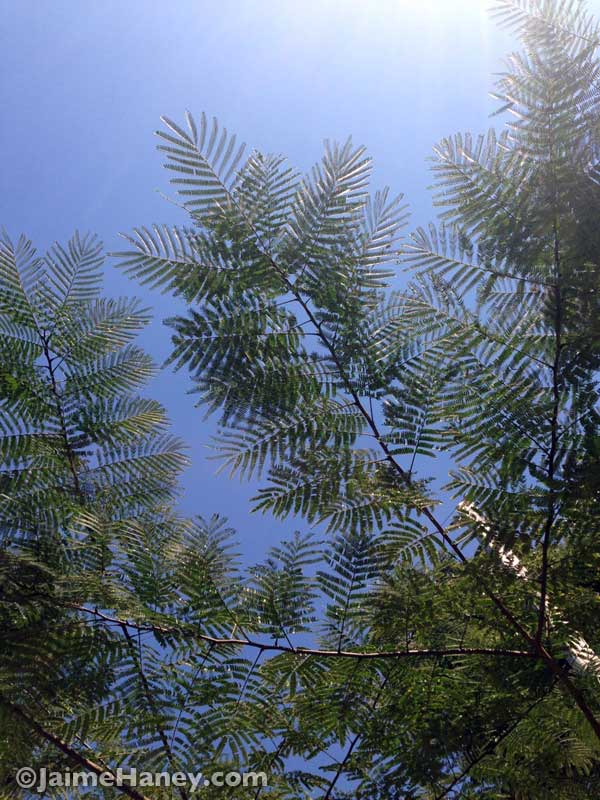 mimosa tree against a blue sky