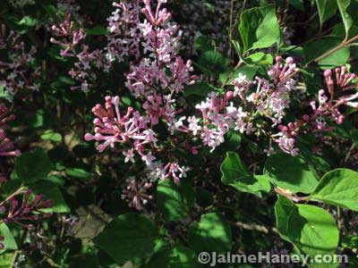 Sweet smelling Jose lilac
