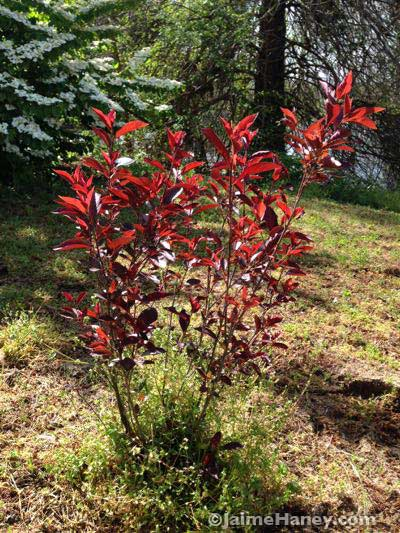 purple leaf sand cherry beautiful backlit