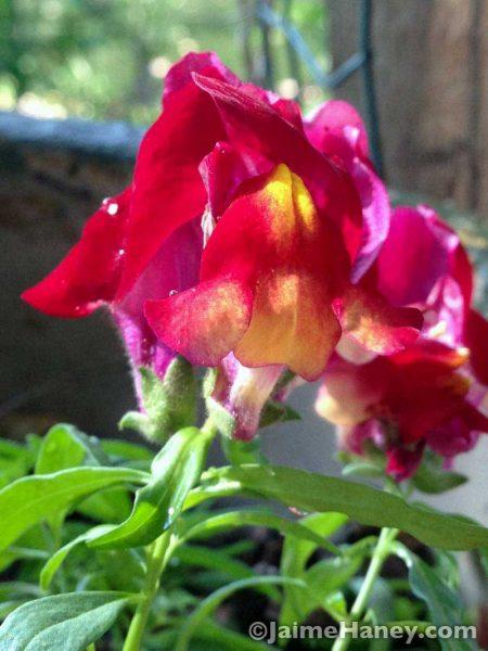 Magenta snapdragon flowers