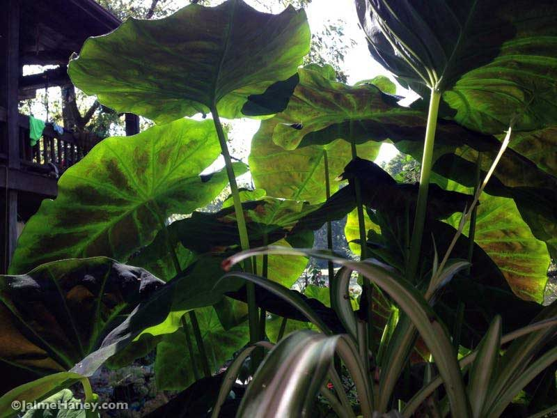 colocasia that has grown in my koi pond all summer