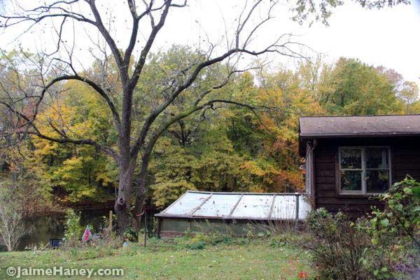 black walnut over greenhouse