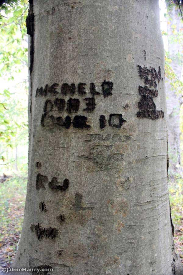 Carvings on an American Beech tree