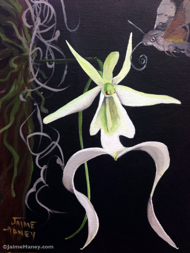 Painting of a Ghost orchid with a sphinx mother hovering over it.