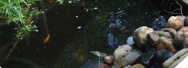Koi fish in the koi pond and swim bladder disease